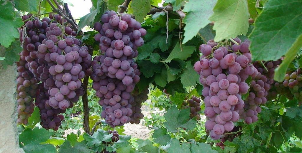 <b>种植葡萄科学管理技术要点</b>